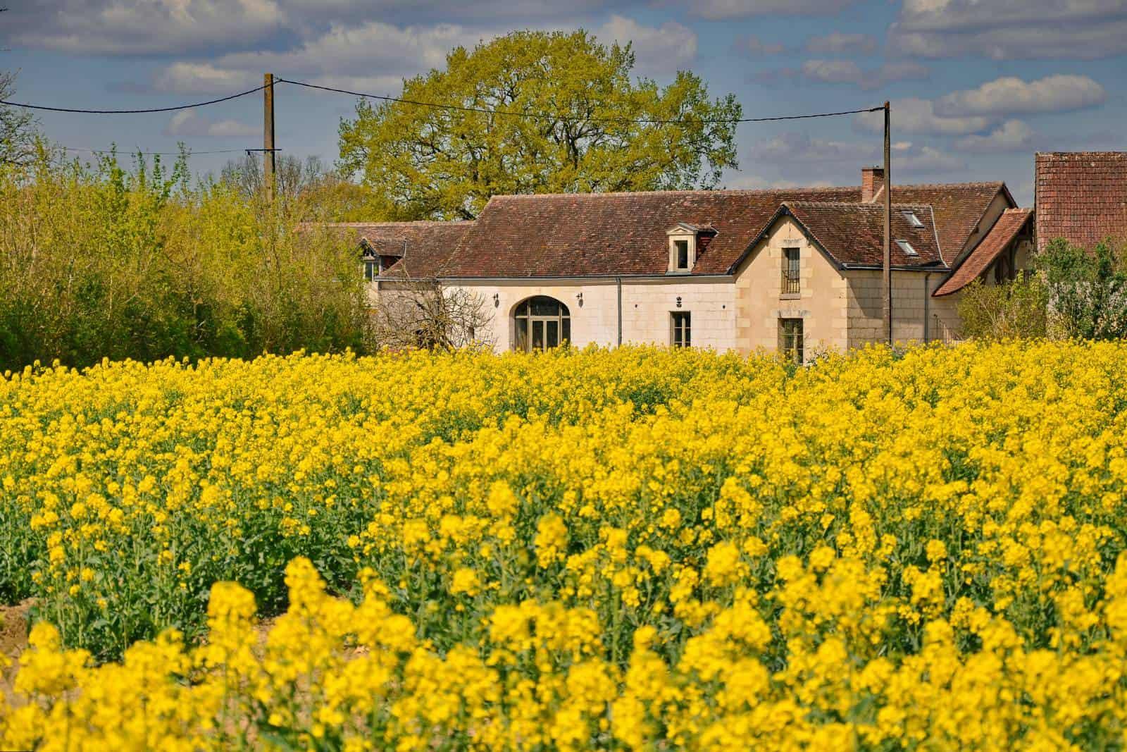 Champ de colza devant la ferme - gîte rural de Haute Forêt en Vallée du Loir