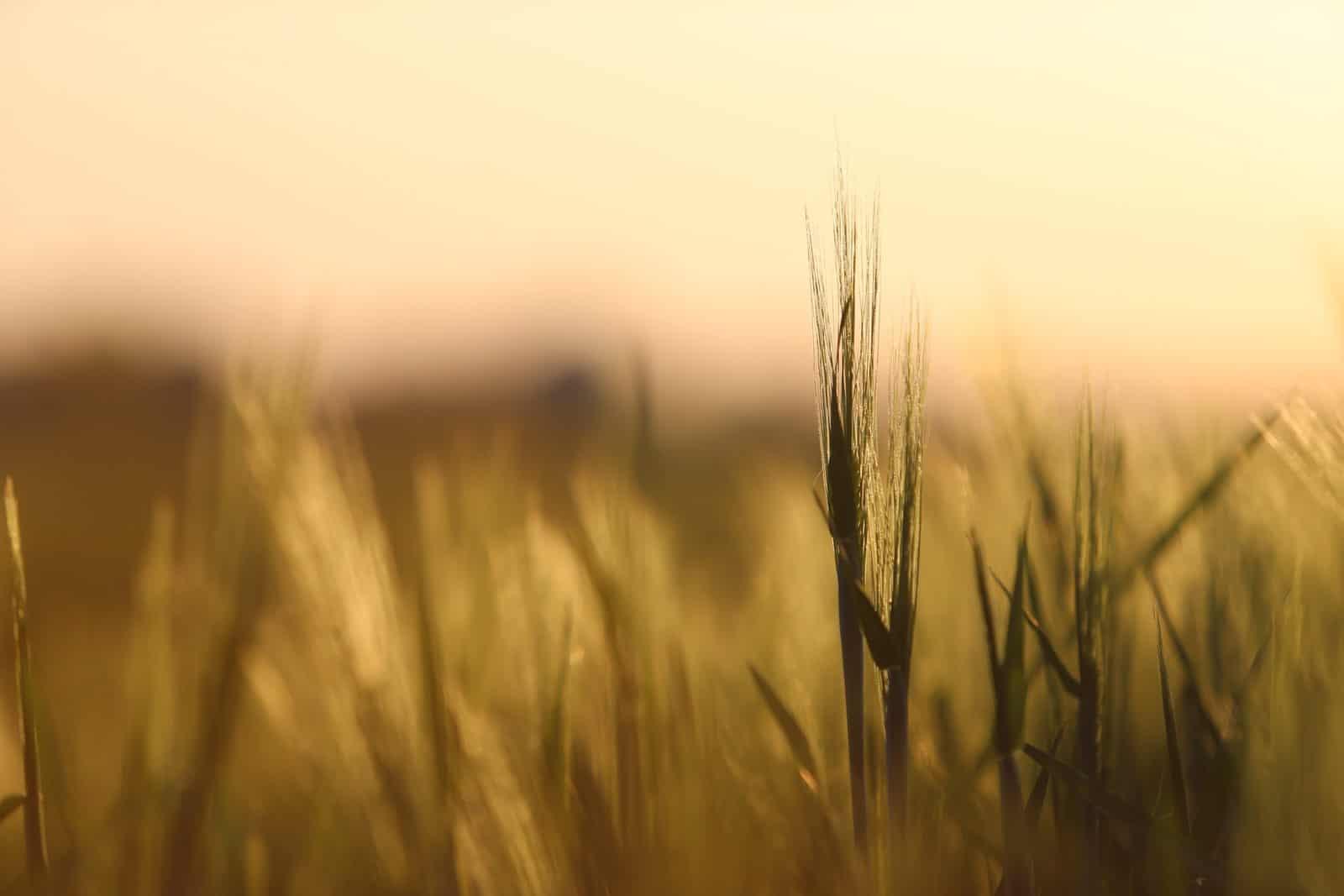 Détail d'un épi d'orge dans un champ au coucher du soleil - gîte rural de Haute Forêt en Vallée du Loir