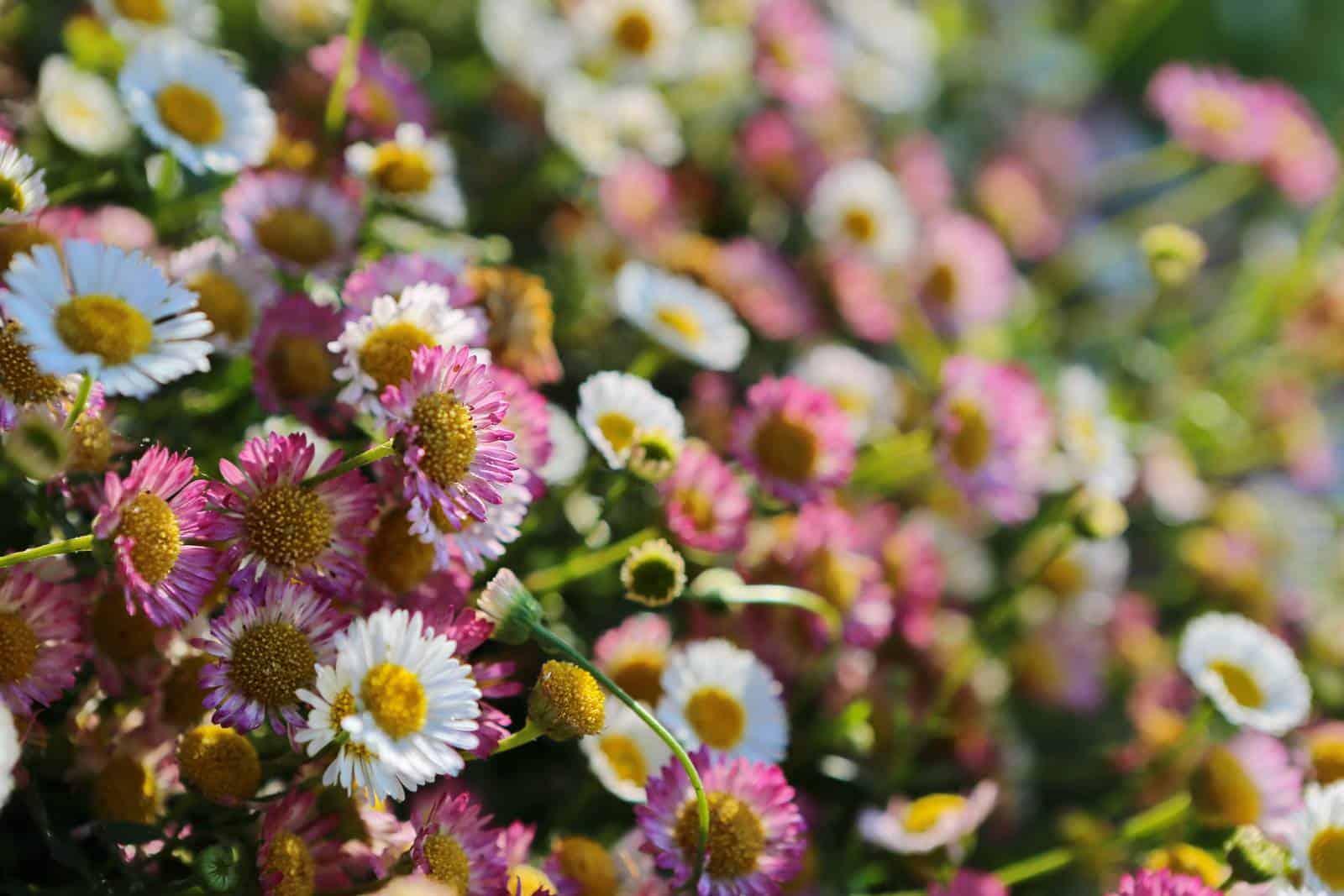 De jolies pâquerettes et de nombreuses autres fleurs - gîte rural de Haute Forêt en Vallée du Loir