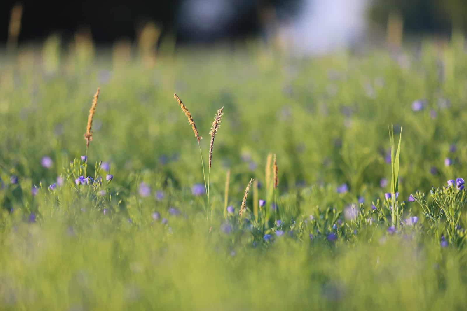 Fleurs dans un champ de lin - gîte rural de Haute Forêt en Vallée du Loir