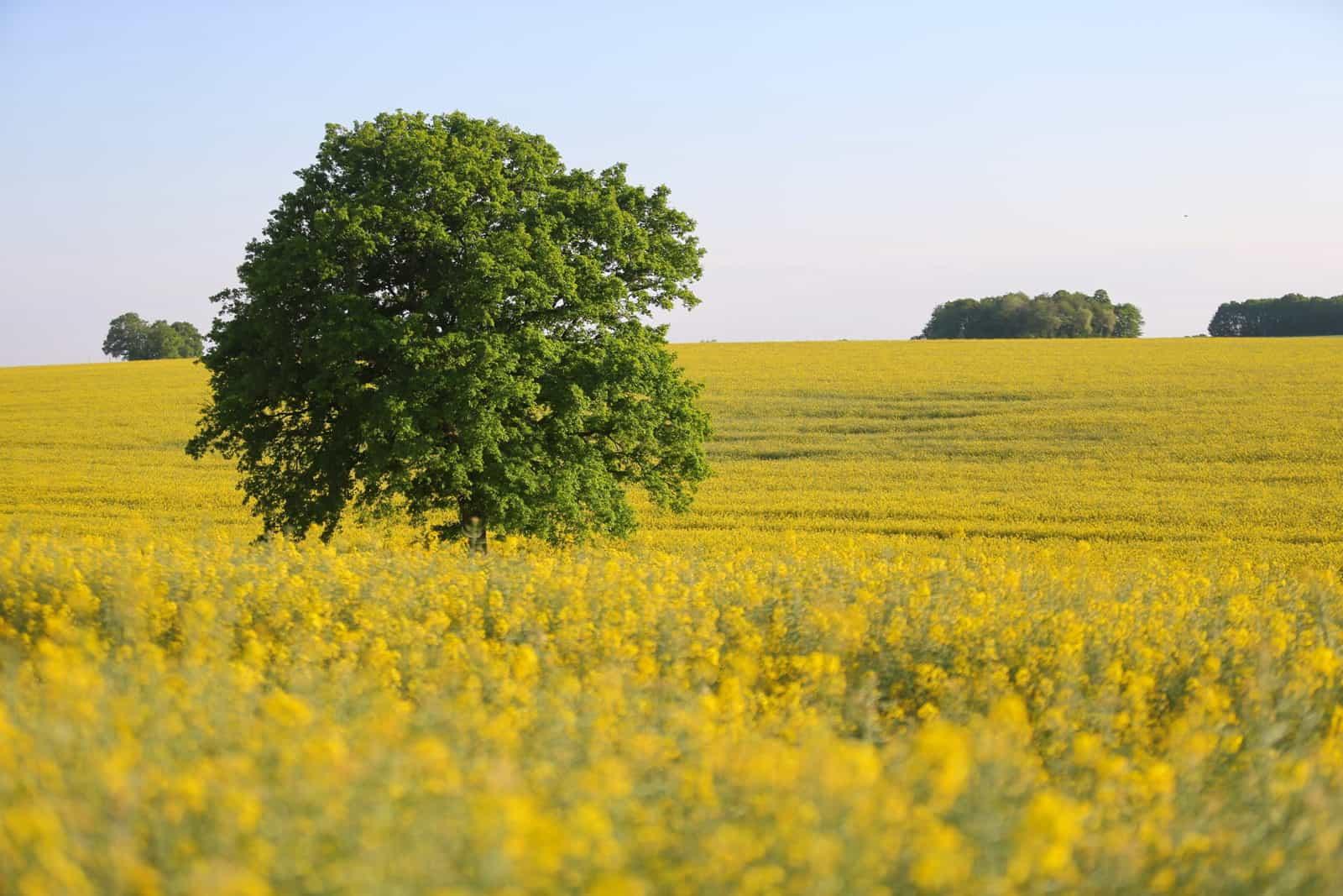 Paysage de champ de colza et arbre solitaire - gîte rural de Haute Forêt en Vallée du Loir