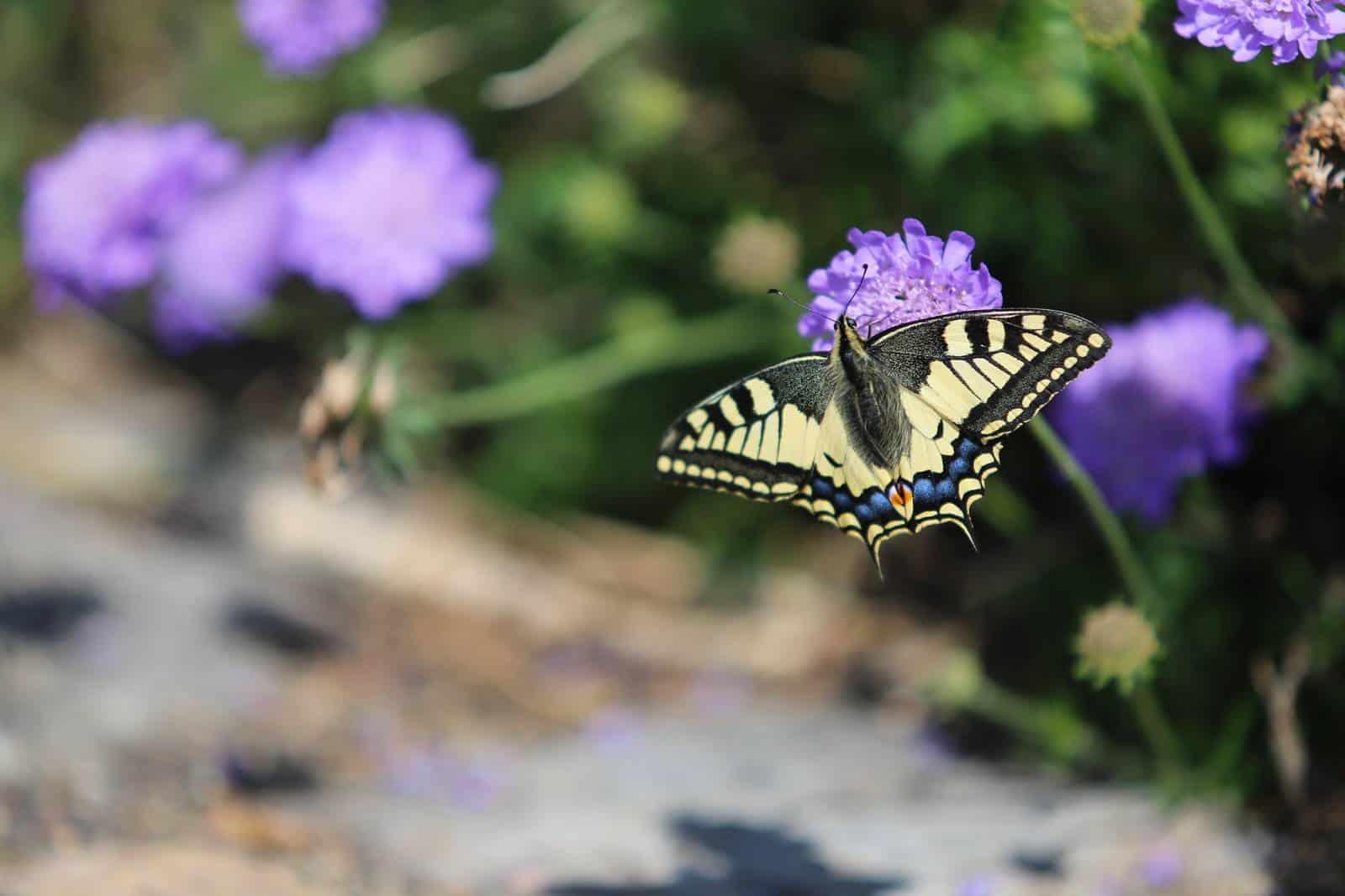 Un papillon sur les fleurs - gîte rural de Haute Forêt en Vallée du Loir